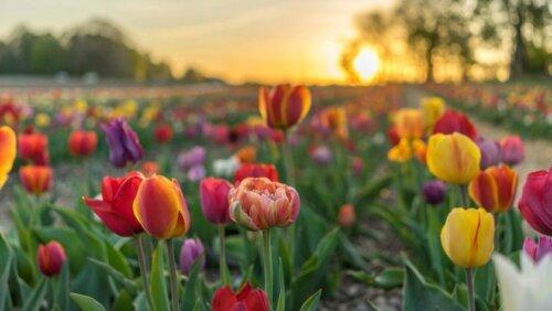 Tulp april Camping Zonnekamp